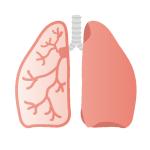 人体のイラスト:呼吸器